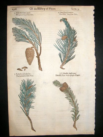 Gerards Herbal 1633 Hand Col Botanical Print. Pine Cone Trees | Albion Prints